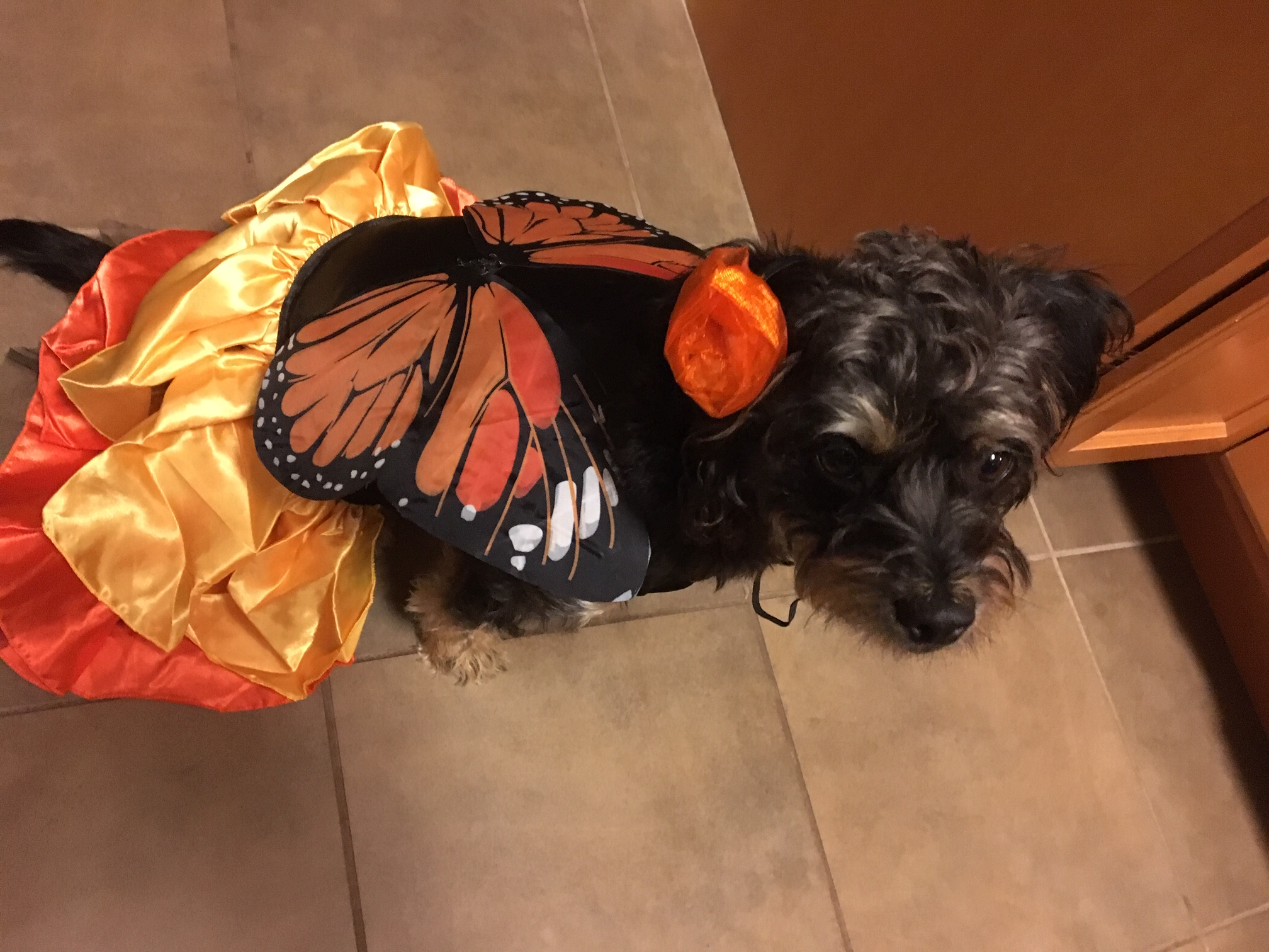 Bella the dog as butterfly