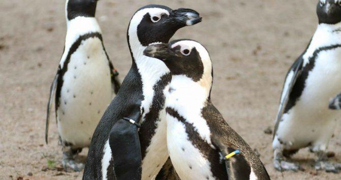 Gay penguins have stolen an egg